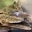 Thumbnail: エンドリケリー 25-30㎝ FARANAH  ギニア便