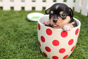 short-coated-black-and-brown-puppy-in-wh