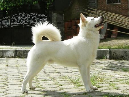 Meet the Kintamani Bali Dog