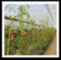 image_plants_tomates.png