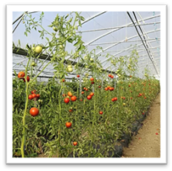image_plants_tomates.png