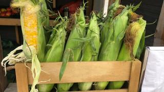Le marché Biocancour - Des maïs