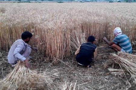 जिले में गेहूं की फसल पककर तैयार, कटाई में जुटे अन्नदाता मौसम पर भरोसा नहीं