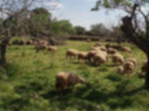 My sheep hear my voice copy_small.jpg