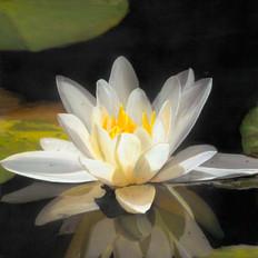 Ivory Lotus