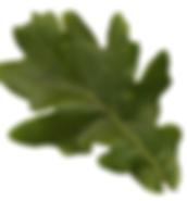 Oak_leaf.png