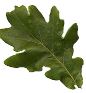 Oak_leaf.png