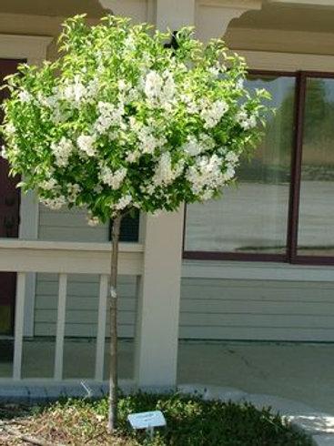 Malus 'Lollizam' Lollipop™ Crabapple Tree
