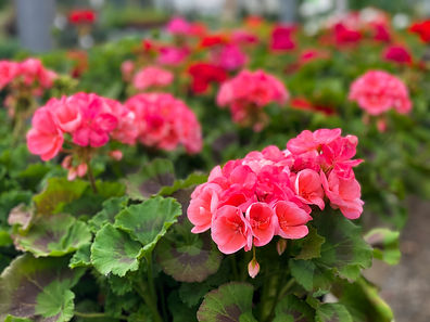 Geraniums-Buchwalter-Greenhouse-3.jpg