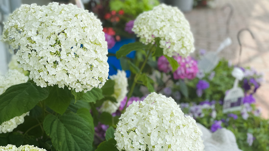 white-bobo-hydrangea.jpg