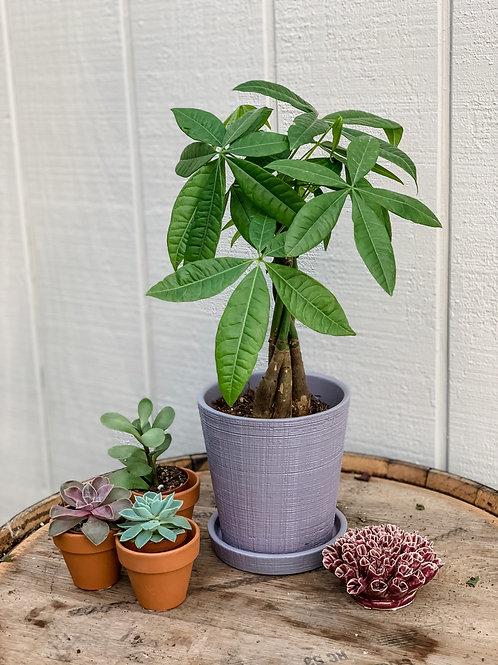 "Money Tree 5"" pot"