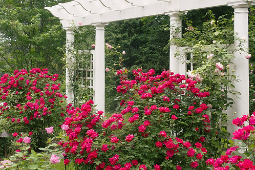 Double Knock Out® Rose - Rosa 'Radtko' - 2 gal. pot