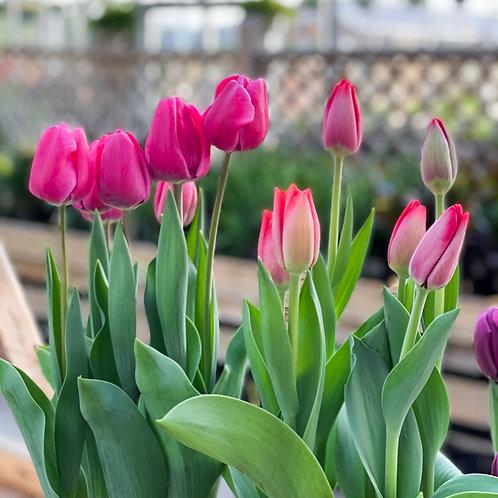 """Tulip 6.5"""" Pot"""