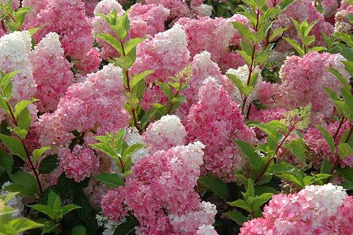 Hydrangea 'Vanilla Strawberry™' - 3 gal. pot