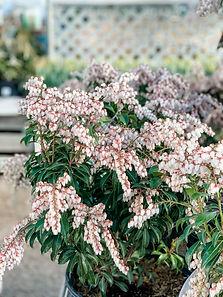 andromeda-katsura-pieris-japonica.jpg