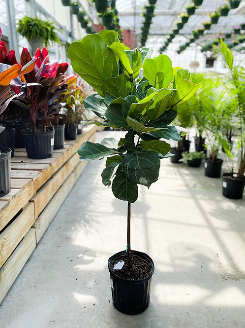 """Ficus lyrata - Fiddle-Leaf Fig - 10"""" Pot"""