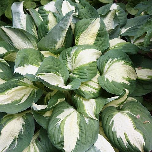 Hosta ' Vulcan' - Plaintain Lily - 1 gal pot