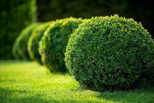 Boxwood - Buxus 'Green Velvet' - 2 gal. pot
