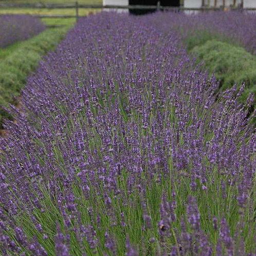 Lavender, 'Phenomenal' - 1 gal. pot
