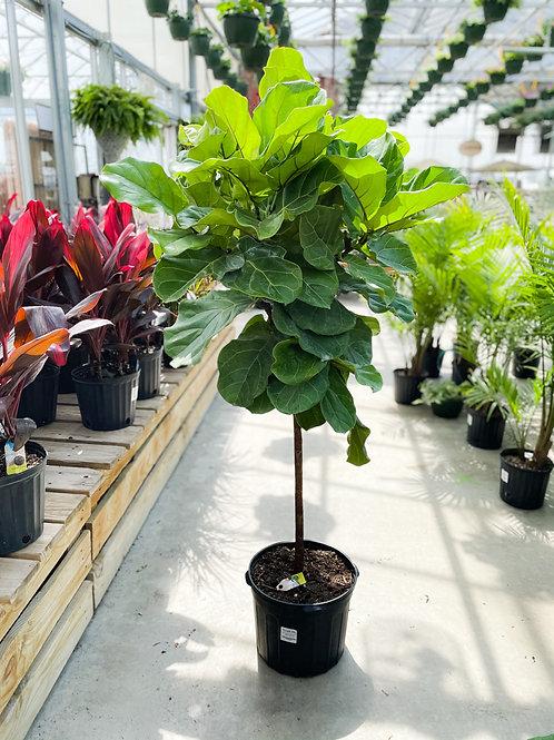 """Ficus lyrata - Fiddle-Leaf Fig - 14"""" Pot"""