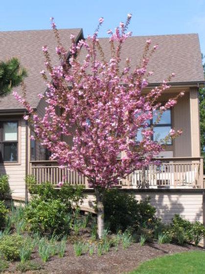 "Kwanzan Cherry Tree - Prunus serrulata 'Kwanzan' - G7 72"""