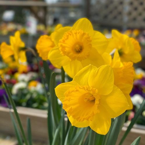 """Daffodils 6.5"""" Pot"""