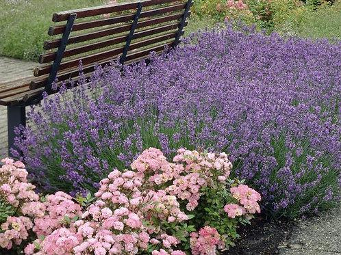 Lavender, 'Munstead' - 1 quart pot