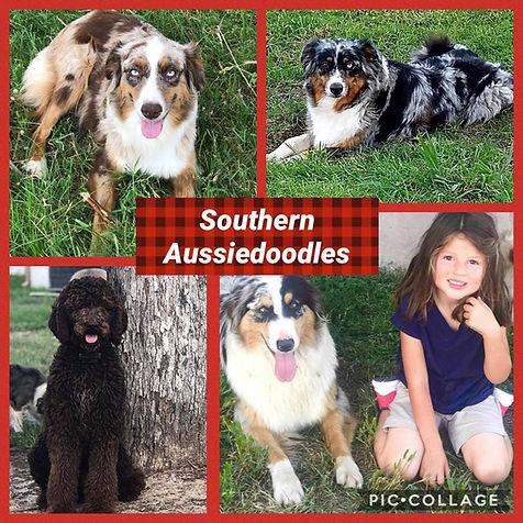 Southern Aussiedoodles 01.jpg