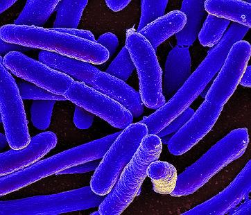 E._coli_Bacteria_(16578744517).jpg