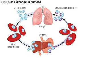 Fig-1-Gas-exchange-in-humans_660_SOurce-