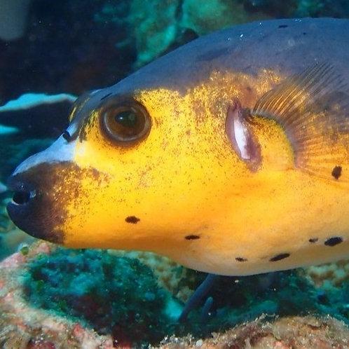 Gold Dogface Puffer (Kenya)
