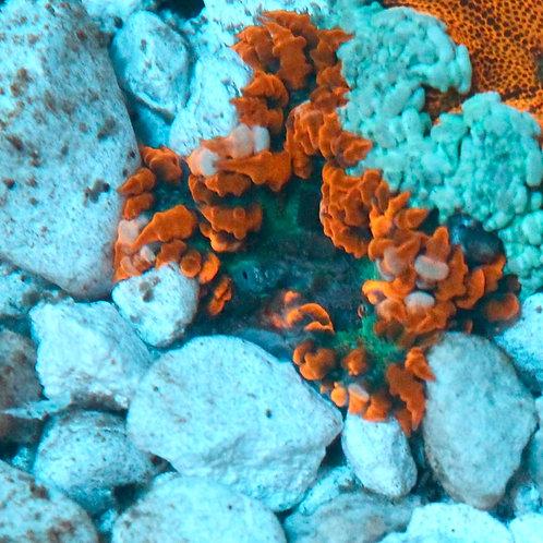 Rock Flower II