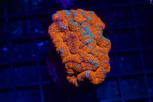 Rainbow Wellsoni Frag