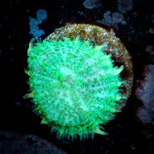 WYSWYG Coral