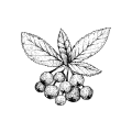 Aronia.png