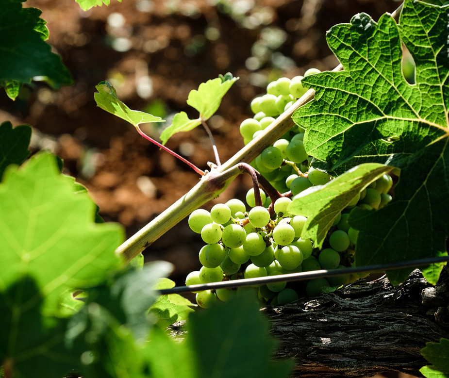 Argyriou_Grapes