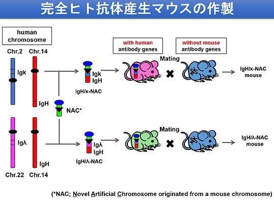 完全ヒト抗体産生マウスラットの作製v2.jpg