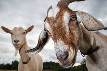 LIVESTOCK - Carolina Pride Premium Goat Feed