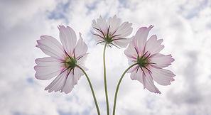 Kosmos als Blume.jpg