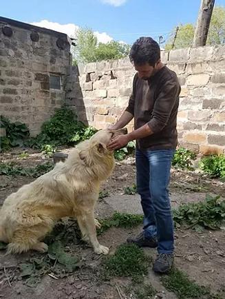 Armenian gampr in Armenia foundational dog