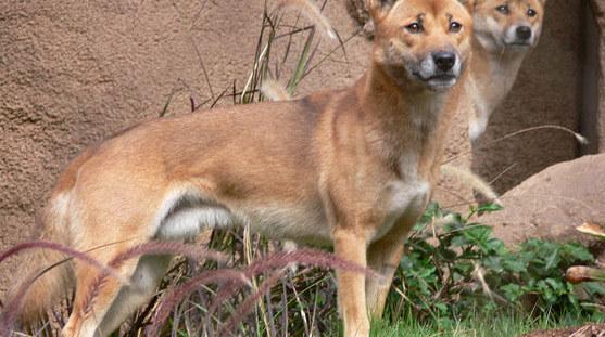 New Guniea Singing dog