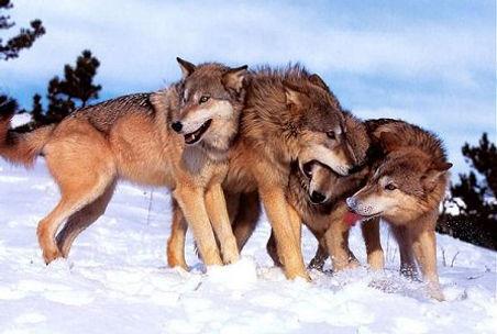 caspian_sea_wolves.jpg