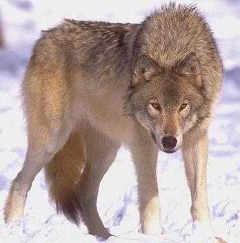 steppe-wolf.jpg