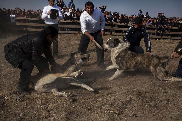 Hro-Hovsepyan-dog-fight-w-Tiger.jpg