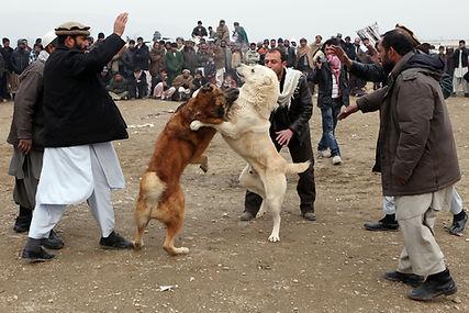 AfghanDogFightingMakesResurgence.jpg