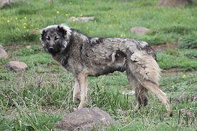 grey-female-shedding.jpg