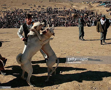 gettyimages-dog-fight-kabul (1).jpg