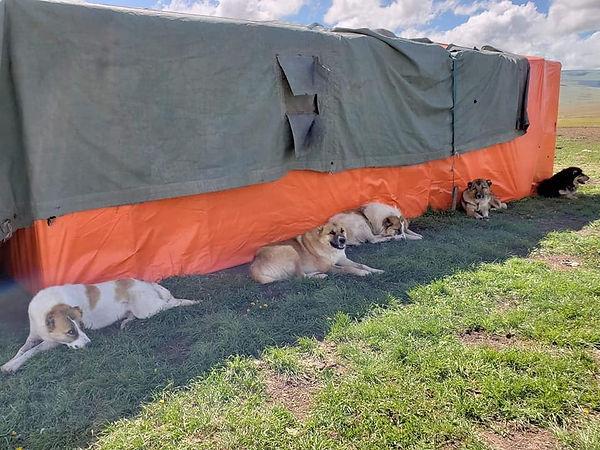Shepherd dogs livestock guardian dogs in Armenia