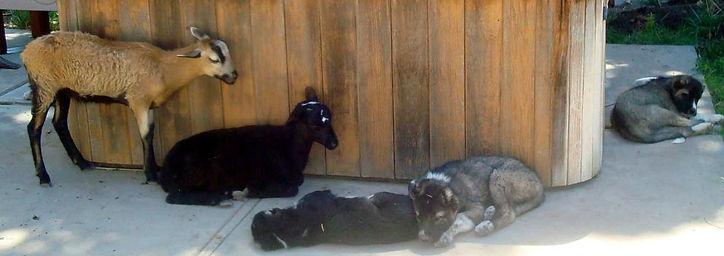 hamliks-pups-w-lambs-006-2.jpg