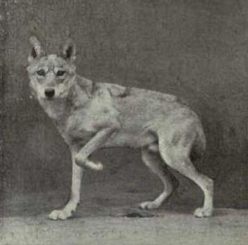 Iranian-wolf-Pallipes.jpg